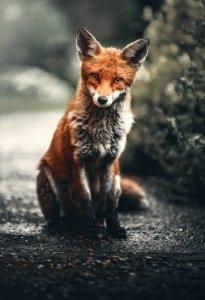 Wissenswertes Fuchs